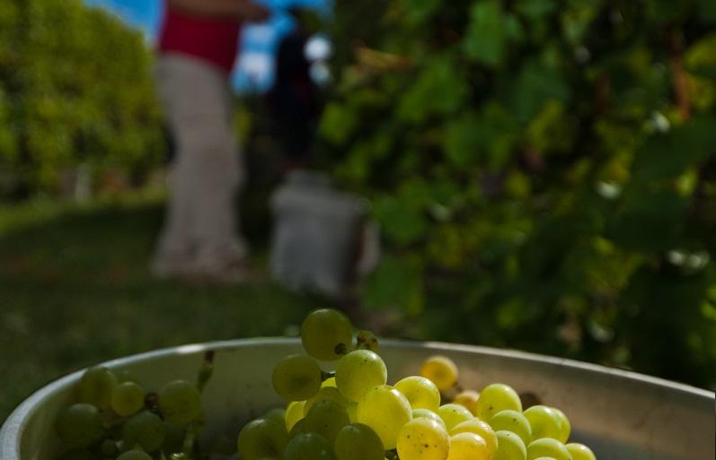 bucket-grapes-alt